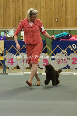Sunday Toy Poodle Confirmation Ring Photos