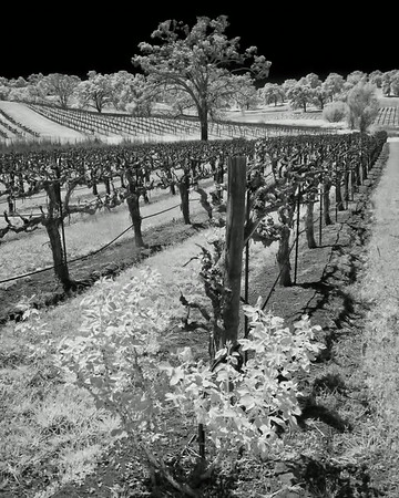 Young's and Petra's Vineyards, Plymouth and Eldorado Hills, CA . Spring 2013