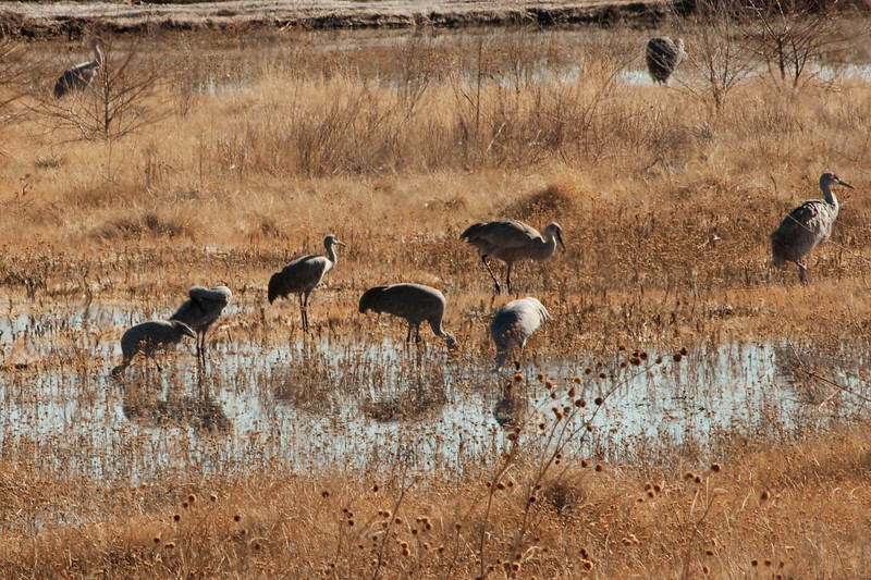 This and following images were alongside the road about 30 miles north of Bosque del Apache, and it shows how the cranes seek out  areas with grains, and water for their own safety, but they are usually welcome on farmlands, for how they help the land as well.