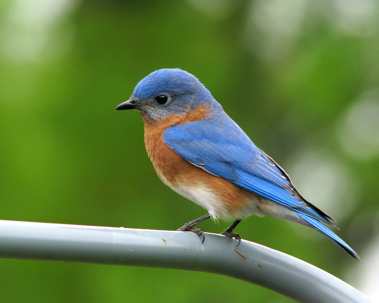 bluebird_8708.jpg