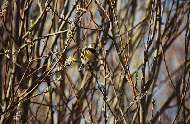 Black-capped Chickadee Seattle, WA