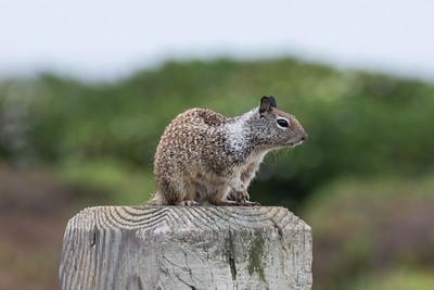 Squirrels, Chipmunks, Marmots, Prairie Dogs, etc