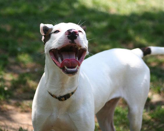 Money - American Pitbull Terrier