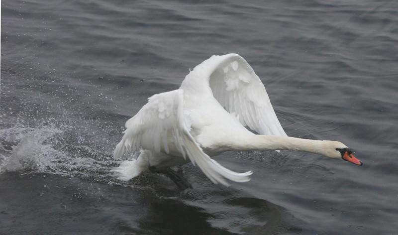 mute swan taking off on Lake Junaluska, NC