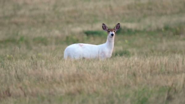 8-28-17 Video - Piebald White-tailed Deer