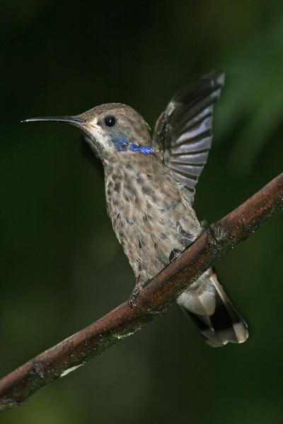 Brown Violetear Ecuador