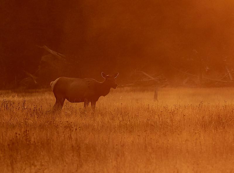 Female Elk at dawn