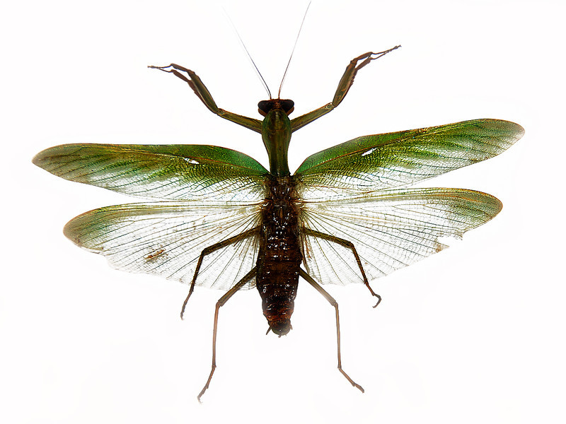 Green silver wing bug.jpg