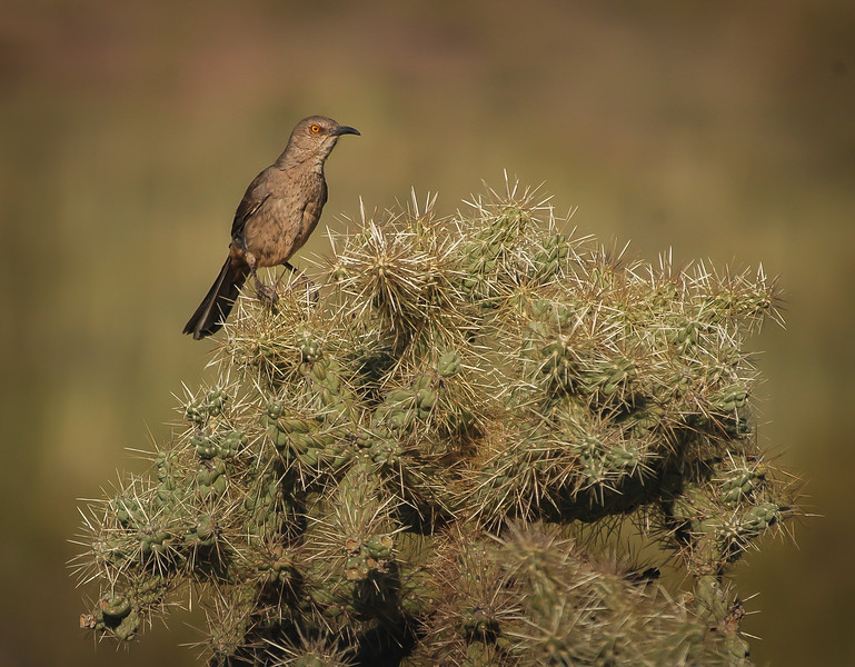 Curve-billed Thrasher on Cholla #1