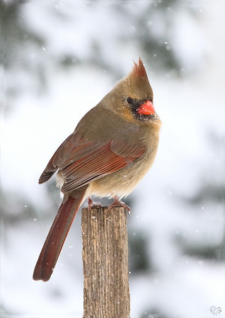 2009 Songbird Calendar