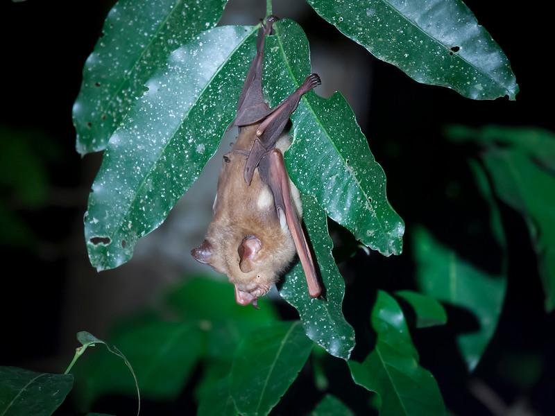 Diadem Leaf-nosed Bat