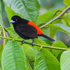 Scarlet-rumped tanager (male)