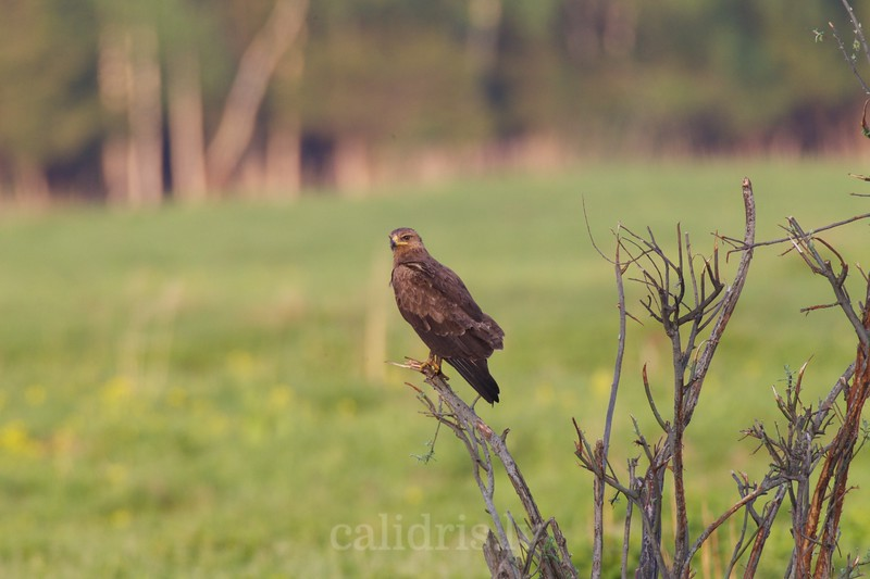 Lesser spotted eagle perched on a branch