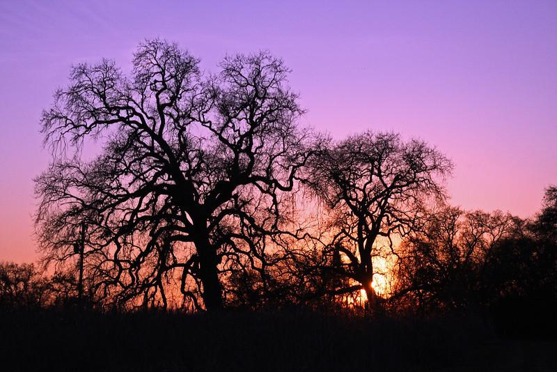 Feb 4: Bare trees at sunset, Cosumnes River Preserve.