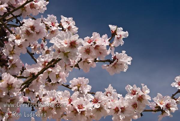 Texas Mission Almond (Prunus dulcis)