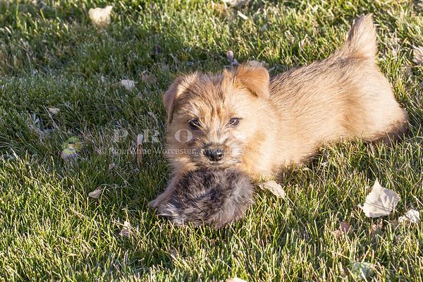 Norfolk Terrier_PAW
