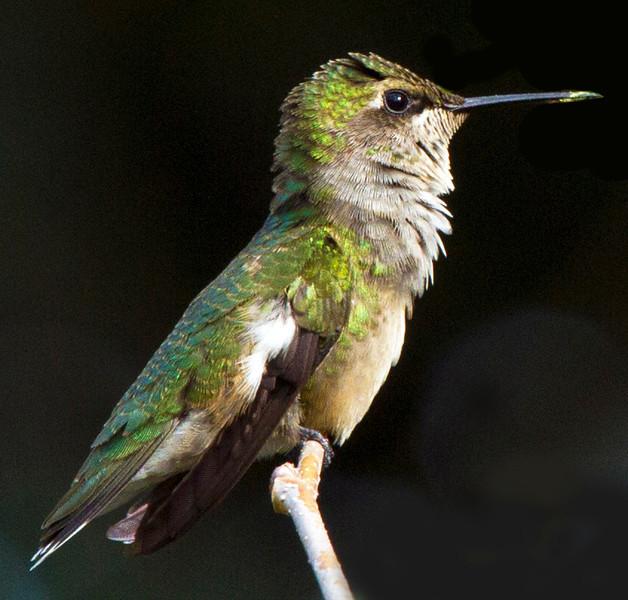 hummingbirdonmulberrytwig10.jpg