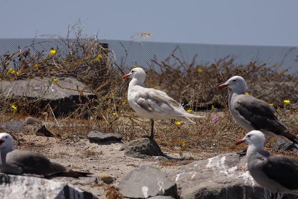 Heermann's Gull Larus heermanni