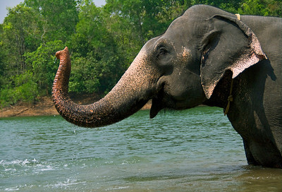 Indian Elephant bath