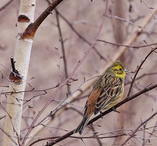 Keltasirkku (Emberiza citrinella)