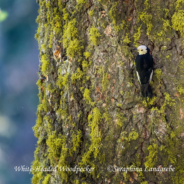 _DSC3924White Headed woodpecker.jpg