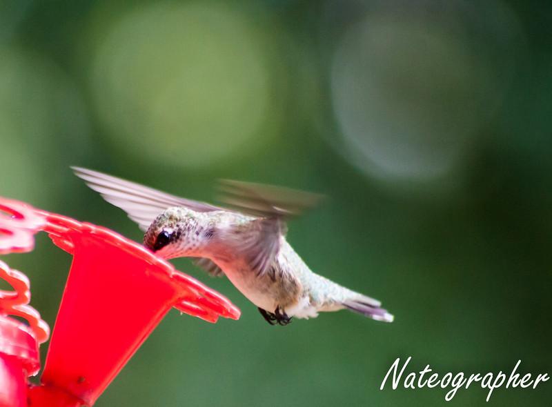 HummingBirds-4189.jpg