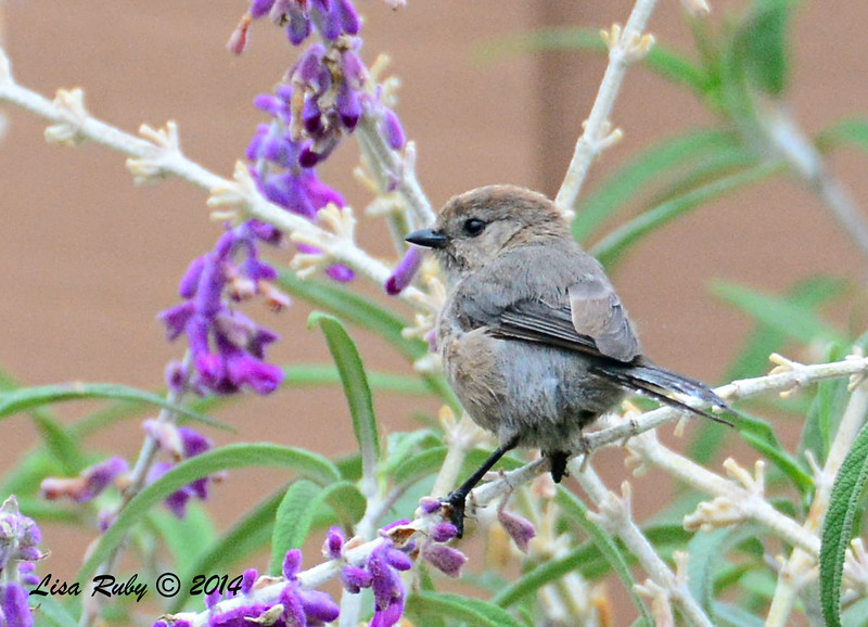 Male Bushtit - 8/2/2014 - Backyard, Sabre Springs