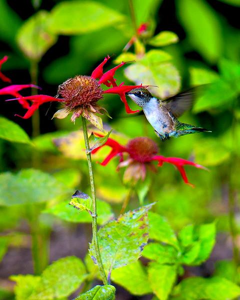 102 Humming Bird_7143.jpg