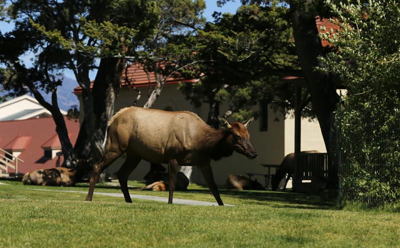Elks near Mammoth Chapel