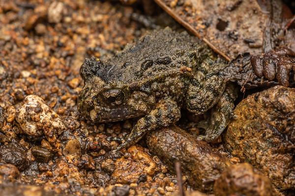 Leiopelma hochstetteri - Hochstetter's frog