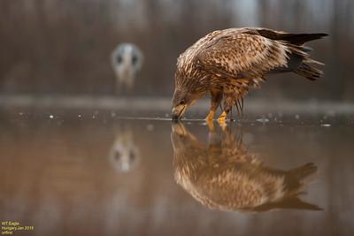 Otters,Gulls,Kingfisher, water rail & WT Eagle