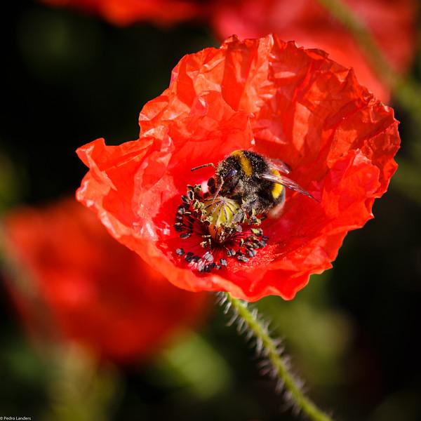 Bee on Poppy.jpg