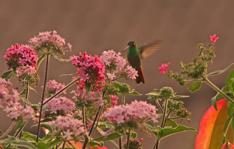 Rufous-Tailed Hummingbird, Heredia, Costa Rica