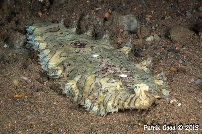Pleuronectiformes