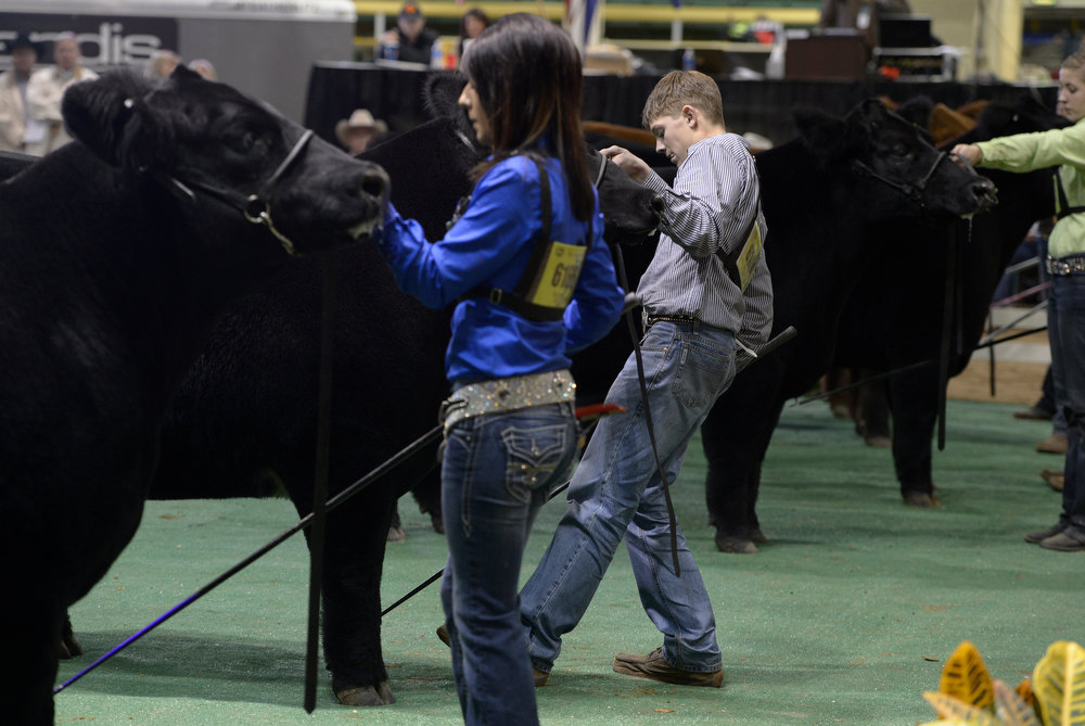 . DENVER, CO- JANUARY 24:    Shilo Schaake, 15, of West Morlin, Kansas tries to get his  steer Trevor to stand correctly while being judged inside the Stadium Arena at the National Western Stock Show. Schaake took home the title of Junior Market Grand Champion steer with his 1335 lbs crossbred steer.   The Junior market beef grand champion and reserve grand champion were chosen in the Stadium Arena at the National Western Stock Show on January 24th, 2013.  The two large mixed breed steer will be auctioned off January 25th. (Photo By Helen H. Richardson/ The Denver Post)