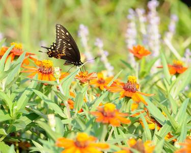 Butterflies 8-24-09