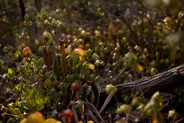 Carnivorous Plants at the Albion Bog in Mendocino County, California
