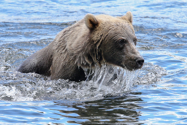 Bears of Kodiak