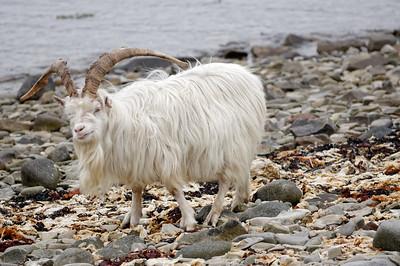 Sanaan goats