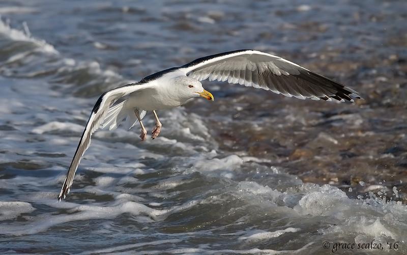 Greater black-backed gull_S247293.jpg