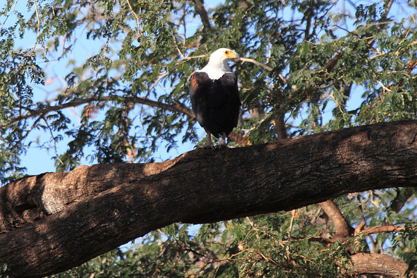 Birds of Mashatu Botswana 2013 and 2017