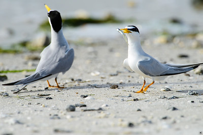 Least Terns