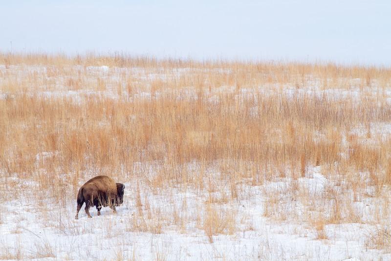 Bison Neal Smith National Wildlife Refuge NWR Prairie City IA  IMG_1933.jpg