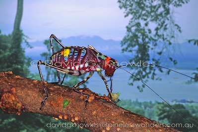 New Guinea Orthoptera (Crickets, Grasshoppers, Katydids)