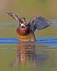 Wood Ducks & Geese 2014