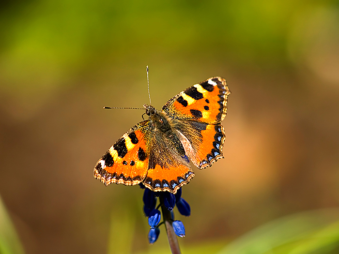 pjphoto59 tortoiseshell A small Tortoiseshell Butterfly, Aglais urticae, in Cleveland, UK.