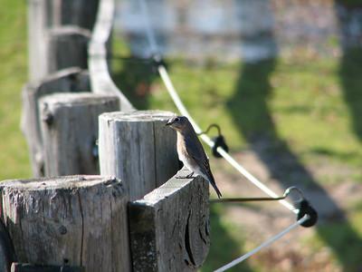 20061030 Eastern Bluebird