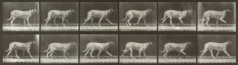 Dog Smith trotting (Animal Locomotion, 1887, plate 706)