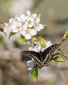 Black Swallowtailed Butterfly In Pear Tree