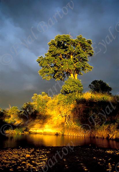 עץ שיקמה.jpg